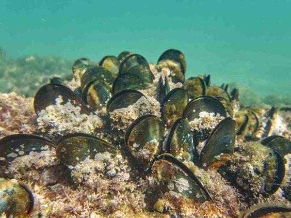 mejillones en el fondo marino
