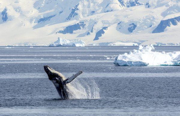 Ballena azul en los polos